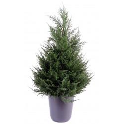 CYPRES juniperus vert