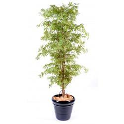 Aralia New Erable Vert