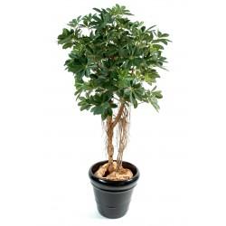 Schefflera Baby Tree Vert/Jaune