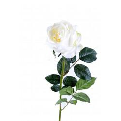 Rose Anglaise 80 cm Crème