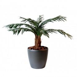 cycas palm 80 cm et 120 cm