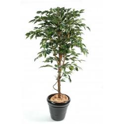 Ficus tronc simple GF Panaché