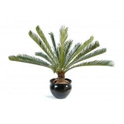 Cycas géant 15 palmes