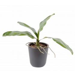 Phalaenopsis Feuilles