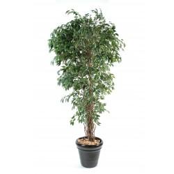 Ficus lianes petites feuilles Vert/Crème