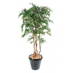 Ficus multitree natasja Vert/Crème
