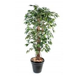 Ficus lianes grandes feuilles Vert/Crème