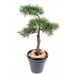 Podocarpus Bonsai 160 cm