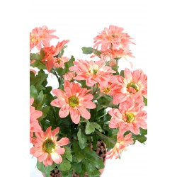 Chrysanthème mini rouge/jaune