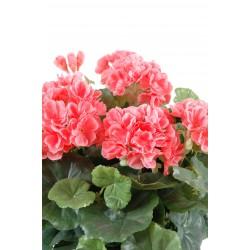 geranium rouge