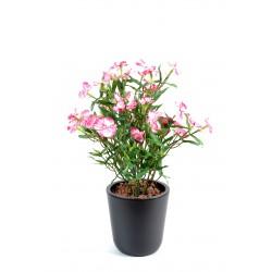 Dianthus lavande