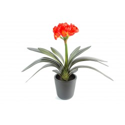 Clivia orange/jaune