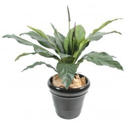Anthurium Jungle King 130 cm